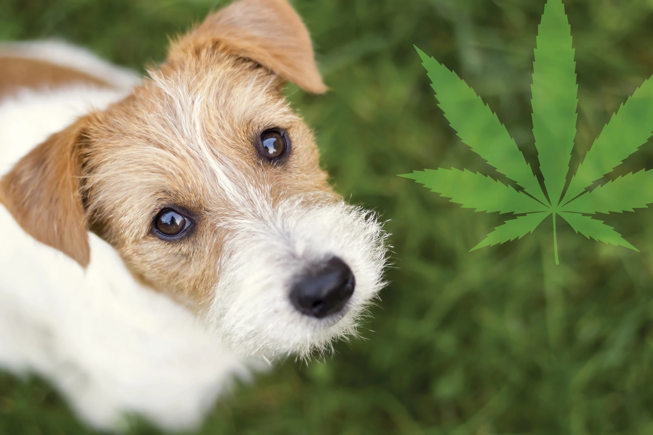 Hemp CBD Oil Can Boost Your Dog's Wellness