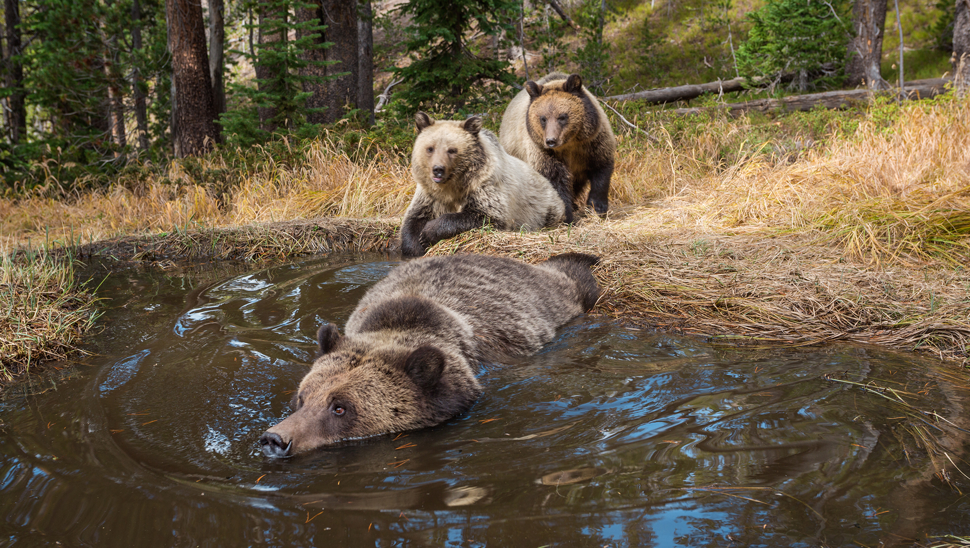Embrace The Journey To The World Of Animals At Yellowstone National Park