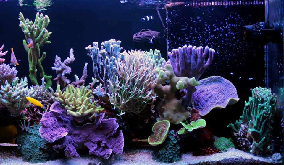 What Are The Different Types of Aquarium Corals for a Reef Tank?