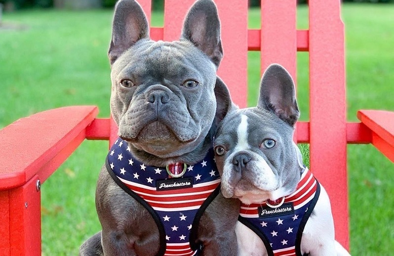 Ways To Friends With The Most Trusted Companion Ever, The French Bulldog
