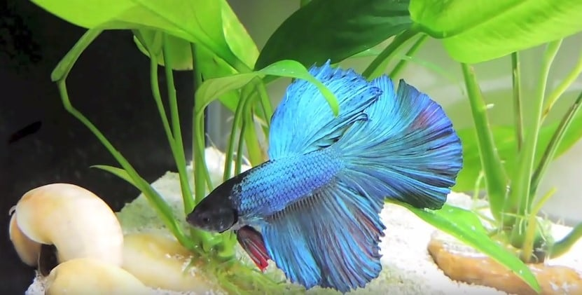 How to set up for your Betta fish?