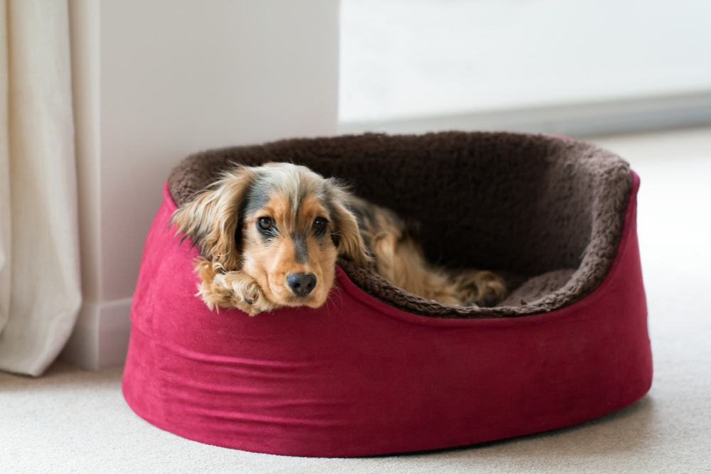Watch Your Little Fluff Ball Fall Asleep In His Bed!