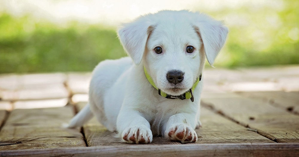Pros and Cons of Crossbreeding Dogs
