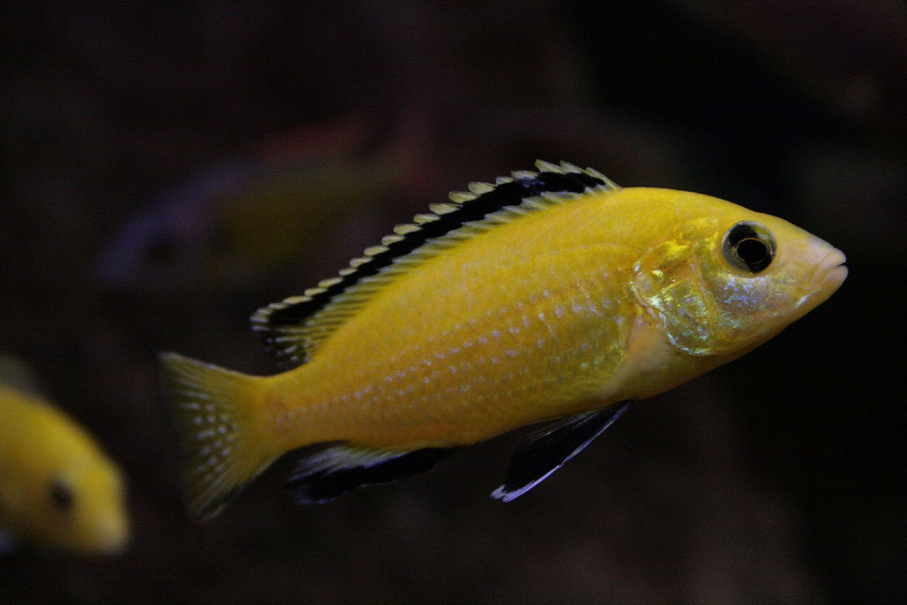 Cichlids and the Details for the Same Now
