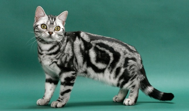 Things You Need to Know About the American Shorthair