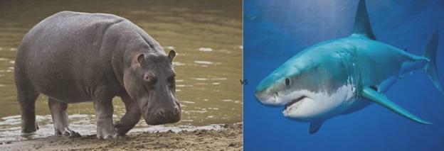 Hippopotamus vs Bull Shark- Who will win?