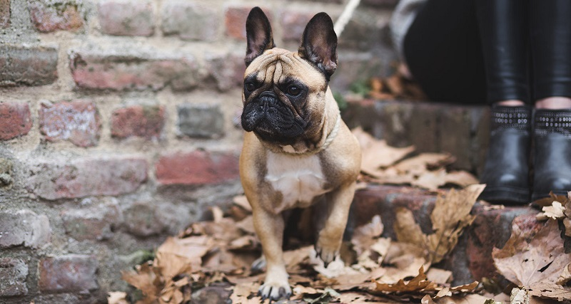 Do you know these behaviors of a French bulldog?