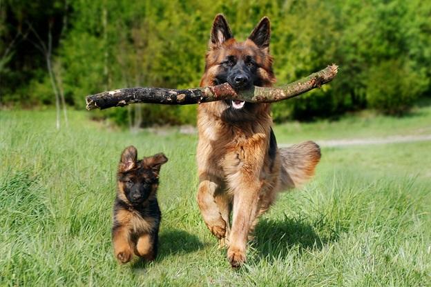 German Shepherd Rescues