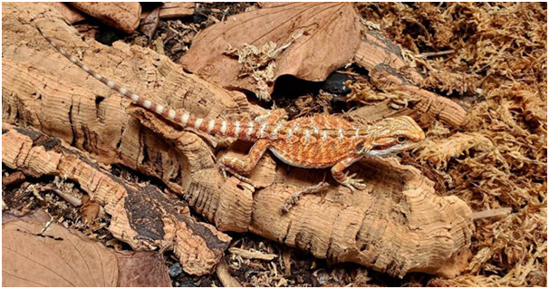 Are Bearded Dragons Worth The Cost?
