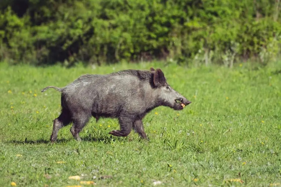 How to Prepare for Hog Hunting