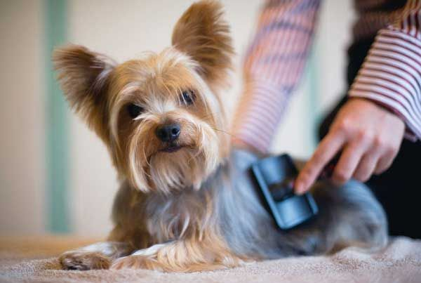 How to Groom Your Yorkie at Home?