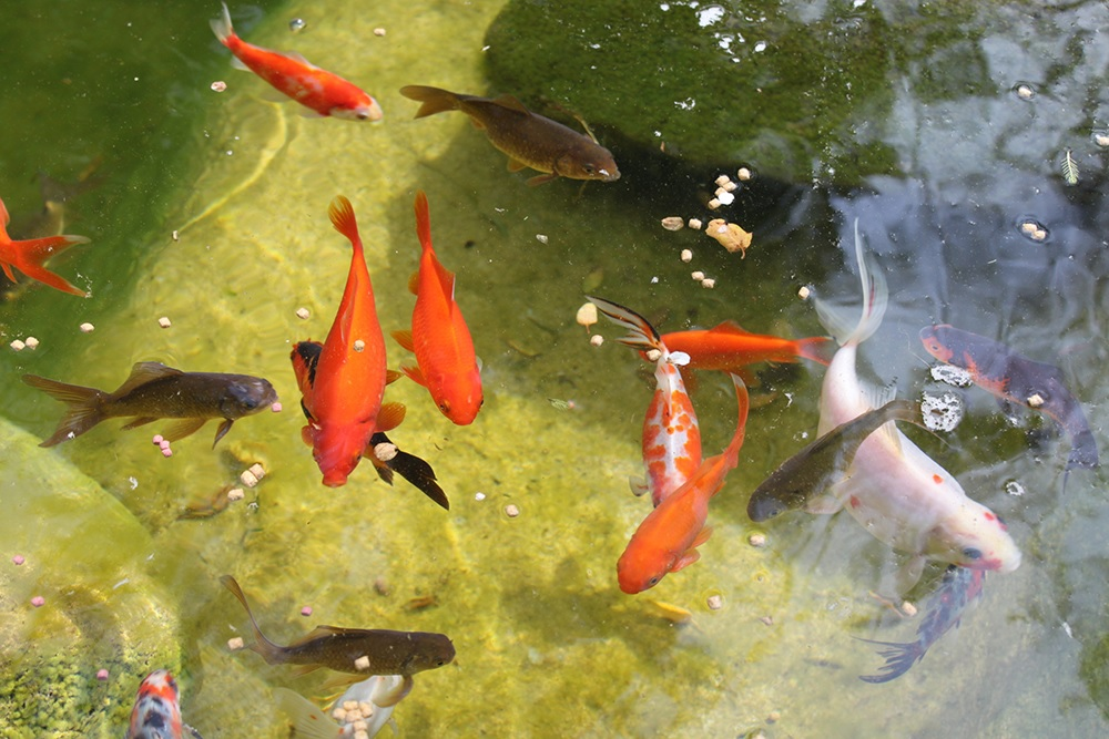 Best Ways to Maintain a Healthy Fish Pond